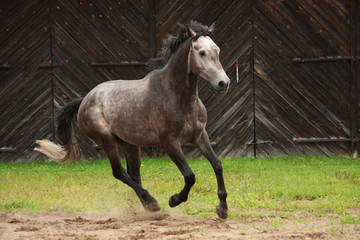 Gray horse galloping at the field