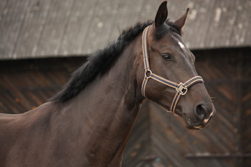 Beautiful latvian breed black horse portrait