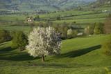 Prunus avium, Merisier, Parc naturel du Morvan, 71