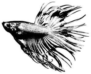 fighting fish, betta splendens