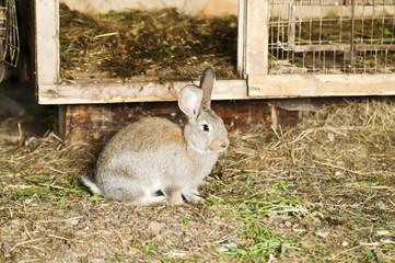 Кролик возле клетки в сарае