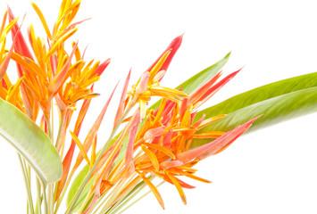 Orange tropical flowers isolated on white