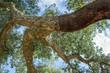 Peeled cork oaks tree