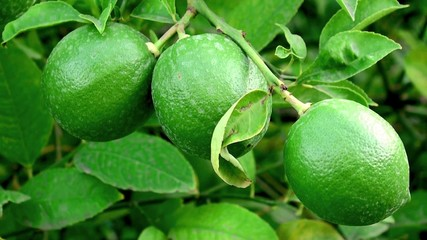 Green limes at the tree.
