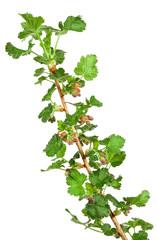 gooseberry seedling isolated on white background