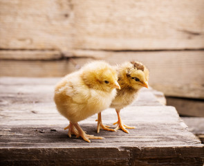 little yellow kid chick standing on wooden background