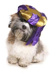 Shih tzu wearing a genie hat
