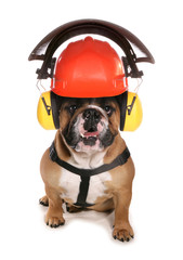 Bulldog wearing protective workwear hat