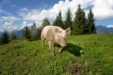 Schwein auf Alm