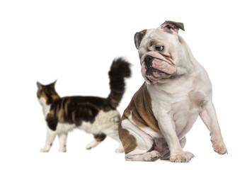 English Bulldog looking back at a cat walking