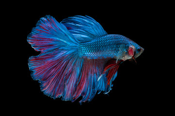 beautiful betta splendens isolated on black background