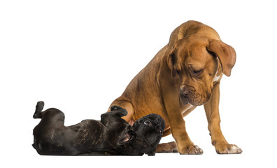 Dogue de Bordeaux looking at a French Bulldog lying