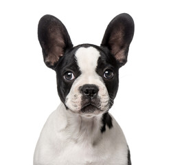 French Bulldog puppy (3 months old)