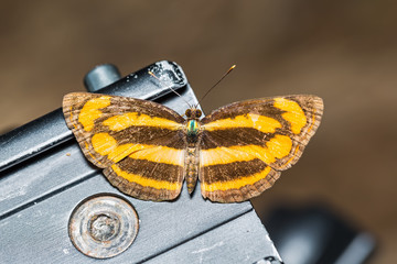 Common Lascar butterfly