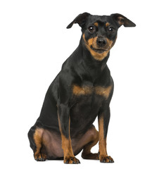 miniature pinscher and chihuahua