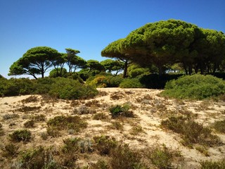 Weg in den Pinienwald der Sanddünen