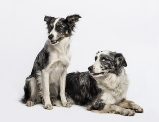 Two Border collies sitting and lying