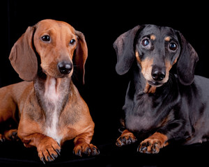 Two Dachshund dogs on black, isolated.
