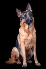 Shepherd dog sitting down on black background, isolated.