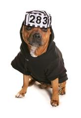 Staffordshire bull terrier wearing a prisoner hat