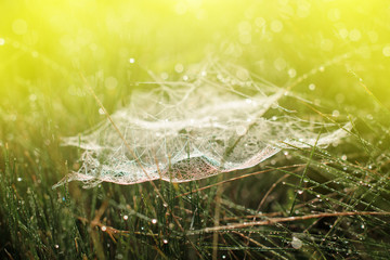 Magic cobweb in dewy grass