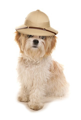 Shih tzu dog wearing a Safari explorers hat