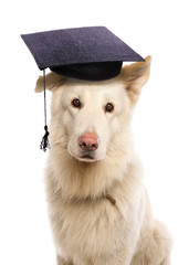 German shepherd wearing mortar board hat