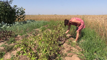 Farmer woman harvest dig natural potatoes with fork in field