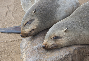 Foca in Namibia