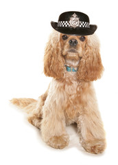American cocker spaniel wearing wpc hat