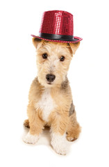 Lakeland Terrier wearing cabaret top hat