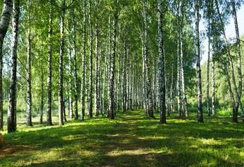 Summer nature,   Birches