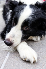 Sad border collie