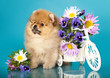 fluffy puppy pomeranian  and flowers