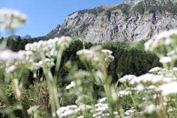 Montaña de los Pirineos con plantas de anís