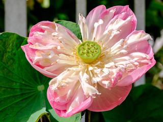 A bloonming lotus