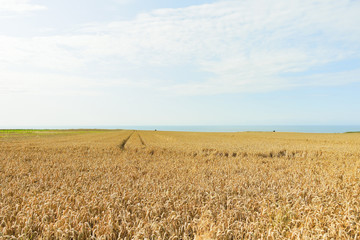wheat field in Normandy on English Channel coast