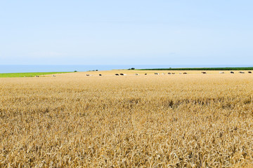 wheat field in Normandy on English Channel shore