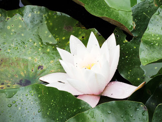 pink Nymphaea flower