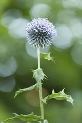 Globe thistle, popular in gardens