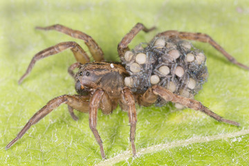 Female Wolf-spider, Trochosa with baby spiders on her back