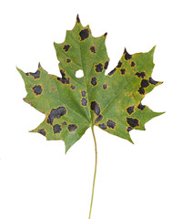 Maple leaf with Rhytisma acerinum causing tar spots