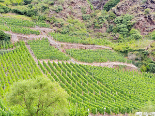 vineyard on green hills in Moselle valley