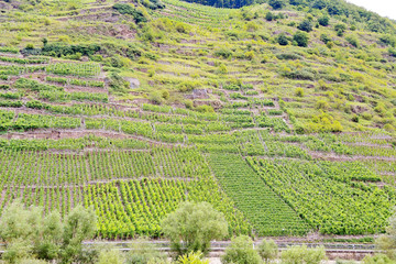 vineyard on green hills at riverbank of Moselle