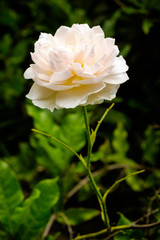 A beautiful white rose in a garden