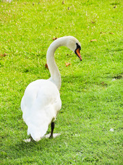 white mute swan on green lawn