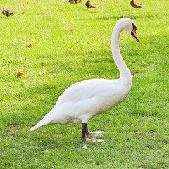 white mute swan on green meadow