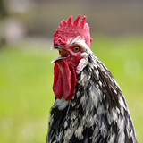 Closeup rooster crowing