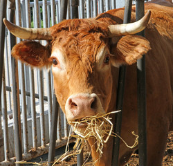 Brown cow of the breed while eating straw and hay in the barn of