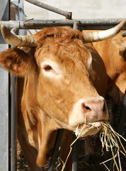 Brown cow eat straw and hay in the barn of the farm